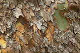 Close up of bark on a tree  Great Smokey Mountains NP  Tennessee  USA