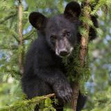 USA  Minnesota  Minnesota Wildlife Connection Black bear in a tree