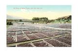 Acres of Drying Prunes