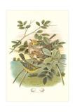 Prairie Warbler Nest and Eggs