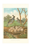 Valley Quail Nest and Eggs