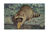 Raccoon Washing Corn