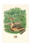 American Woodcock Nest and Eggs