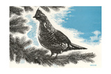 Grouse in Fir Tree