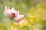 Lotus Flowers in Garden under Sunlight Papier Photo par Elwynn