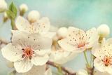 Cherry Blossoms Against a Blue Sky
