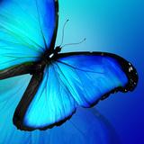 Blue Butterfly on Blue Background Papier Photo par Suns_luck