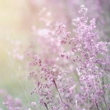 Background of Beautiful Lavender Color Flower Field