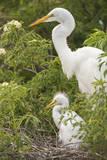 USA  Florida  Orlando Great Egret and baby egret at Gatorland