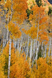 Aspen trees in autumn Fishlake National Forest  Utah  USA