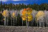 Aspen trees and conifers  Fish Lake Basin Fishlake  Utah  USA