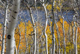 Aspen trees in above Fish Lake Fishlake National Forest  Utah  USA