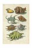 Conch Shell Illustre