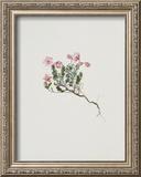 Small Alpine Rose