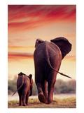 Elephant Walking with Calf
