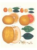 Kumquat and Grapefruit
