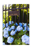 Blue Hydrangeas of Bellevue Ave  Newport  RI
