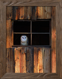 A Barn Owl  Tyto Alba  in the Window of a Barn