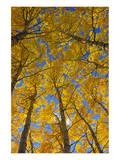 Trembling Aspens in Autumn