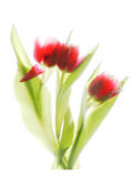 Red Tulips VI