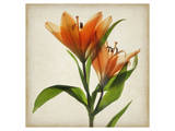 Bright Lily I