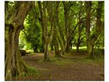 Killarney Yew Trees  Ireland