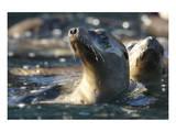 Sea Lion Swim Reproduction d'art par Steve Munch