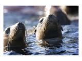 Afternoon Sea Lion Swim Reproduction d'art par Steve Munch
