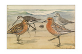 A Painting of a Red Knot and Eastern Dowitcher in Seasonal Plumage