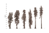 Illustration of Redwood Tree Growth Along the Pacific Coast