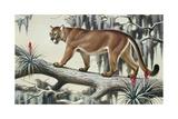 A Puma Slinks Along a Log in Moss-Hung Everglades