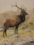 A Painting of an American Elk  also known as a Wapiti  and its Herd