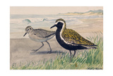 A Painting of Two Golden Plovers in Winter and Summer Plumage