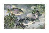 Striped Seaperch and Black Rockfish Swim Close to the Shoreline