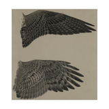 An Image of the Wings of a Falcon (Top) and a Goshawk Hawk (Lower)