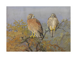 A Painting of an Adult and an Immature Red-Shouldered Hawk