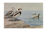 A Painting of Long-Tailed Ducks  Clangula Hyemalis