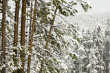 A Snow-Covered Forest of Evergreen Trees