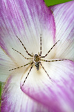 A Tiny Spider Inside Bright Pink Petals Waits to Ambush Prey Attracted to the Flower