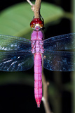 A Delicate Pink Skimmer Dragonfly Roosting on a Twig in the Amazon Rainforest at Night