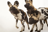 African Wild Dogs  Lycaon Pictus  at the Omaha Zoo