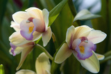 Close Up of Two Orchid Flowers