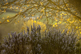 Lavender and a Sunlit Tree in the Early Morning Near San Gimignano