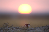 A Black-Footed Ferret  Mustela Nigripes  Peering from its Burrow at Sunset