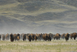 A Herd of American Bison  Bison Bison  in a Hilly Grassland Landscape
