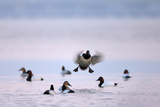 A Male Canvasback Duck  Aythya Valisineria  Coming in for a Landing Among a Flock of Canvasbacks