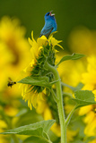 An Indigo Bunting  Passerina Cyanea  on a Sunflower Singing to Claim its Territory