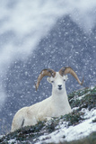 A Dall's Sheep Rests on a Hillside in a Snowstorm