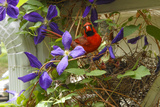 A Male Northern Cardinal  Cardinalis Cardinalis  at its Nest with Chicks in a Clematis Vine