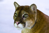 The Inquisitive Yet Serene Stare of a Mountain Lion with Lime Green Eyes